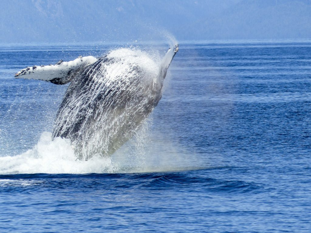 How did Japan's Whalers Of The Past Feel About Their Job & The Whales They Killed?